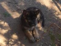 Beautiful and very healthy AKC German Shepherd pups