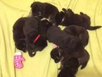 6 males 2 females  black tan and white ready