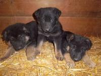 I have a beautiful litter of AKC German Shepherd pups.