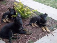 I have three pups available from a July 15th litter.