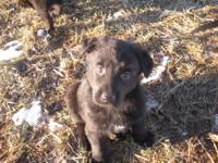 These are AKC Registered German Shepherd puppies with a