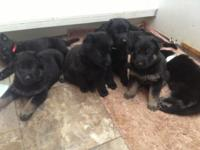 Purebred Registered AKC German Guard Puppies birthed on