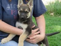 AKC German Shepherd dogs, black/silver, black/tan,