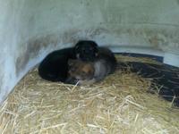 AKC German Shepherd Puppies. 1st shots, wormed & &