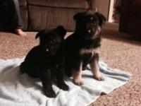 Have german shepherd akc pups. Mostly males.