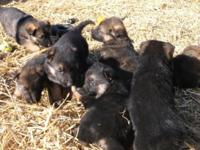 AKC German Shepherd pups. Ready after 3/13. These