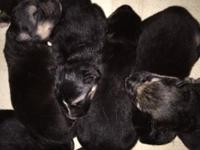4 male AKC registered German Shepherd Pups. Mom is a