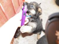 2 FEMALE AKC REGISTERED GERMAN SHEPHERD PUPS FOR SALE.