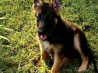 AKC German Shepherd pups, 15 weeks, 3/4 Heidelberg &