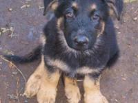 AKC German Shepherd puppies, M's & & F's. Really nice