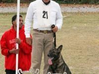 AKC Registered German Shepherd puppies..National