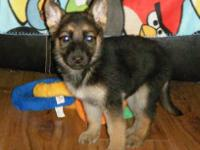 AKC German Shepherd Puppies, baby boys & baby girls are