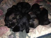 AKC German Shepherd pups. Will be 8 weeks old & ready