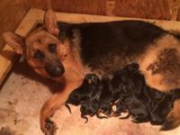 JUST. BORN JUNE. 30. 3 FEMALES & 7 MALES Akc pups /