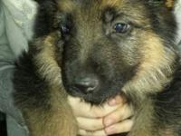 AKC GERMAN SHEPHERD PUPS SIRE IS MY TITLED IMPORT SG1