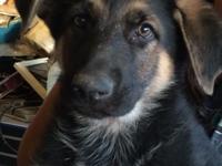 AKC German Shepherds 9 weeks old DOB: 4/12/15 Females
