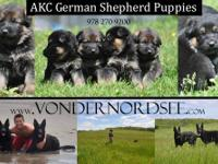 Akc reg gorgeous pups.These pups are SUPER spoiled.