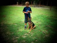 Allen Shepherds raise all kinds of Akc German Shepherds