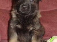 AKC registered sable, and Black and Tan females,
