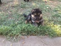 I have 7 Pure Breed German Shepherds available. 4 male