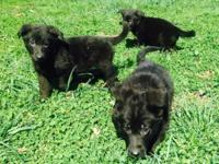 Purebred AKC registered German Shepherd puppies, I have