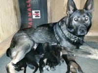 www.taylorsgsd.com We have a litter of 7 Puppies from