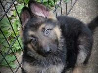 AKc German Shepherd puppies ... All of our young