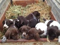 Akc German shorthair guideline puppies. 800.00. Moms