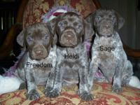 AKC German Shorthaired Pointer Puppies ready to leave