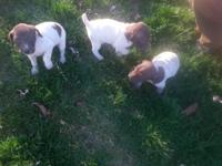 These are AKC registered German Short hair pups and