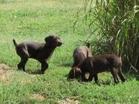 We have a gorgeous litter of AKC German Shorthairs.