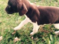 AKC/NAVHDA  German shorthair pointer