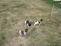 We have 3 German Shorthair pups. ! is a black/white