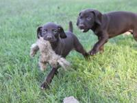 Two Male Liver GSP pups looking for hunting companion