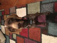7 Year old German Shorthaired Pointer available to