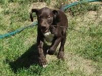 We have a stunning AKC German Shorthaired Pointer puppy