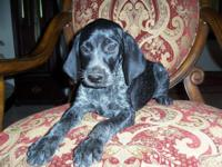 We have a black roan colored german shorthaired pointer
