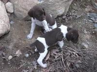 The German Shorthaired Pointer is admired for its