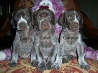 We have AKC German Shorthaired Pointer Pups now