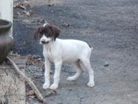 German Shorthaired Puppy: 11wks old, have actually had