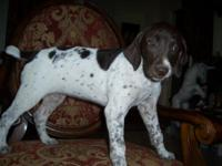 We have a liver and ticked colored german shorthaired