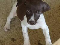 AKC German Shorthaired Pointer puppies for sale for