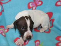 We have a gorgeous litter of AKC Liver & White and