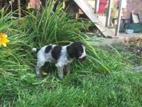 Gorgeous litter of German Wirehaired Pointers, born on