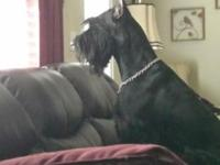 AKC Giant Schnauzer, 3 year old spayed female. I HATE,