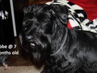 AKC-Giant Schnauzer Puppy litter 2 MALES LEFT! Born on