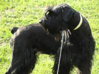 AKC REGISTERED GIANT SCHNAUZER PUPS ***2013 Litter due