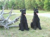 AKC Giant Schnauzer Puppies Summer [JUST BORN OCTOBER