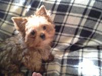 Beautiful female yorkie ready for her brand-new