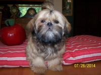 AKC lovely gold male Shih Tzu puppy. Born 3/24/14. All